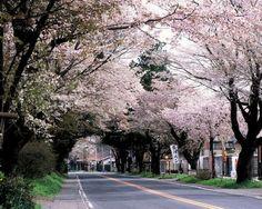 #japan #cherryblossome #kanto #tochigi 日光街道桜並木