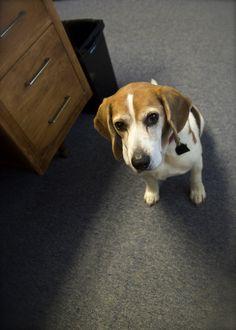Tucker the Wonder Beagle. Impatient cardiac patient.