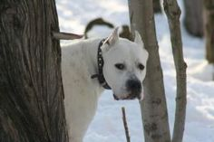 BHRR's Freddy is an adoptable Dogo Argentino Dog in Oxford Station, ON. BHRR's Freddy(3 years), White Dogo Argentino, neutered, utd on vaccines, microchipped, GREAT with all medium, large and extra la...