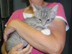 Larry is an adoptable Domestic Short Hair-Gray Cat in Dahlonega, GA. Larry is all kitten fluff and fun. This sweet boy came to us with a few of his siblings and is now ready for a home to call his own...