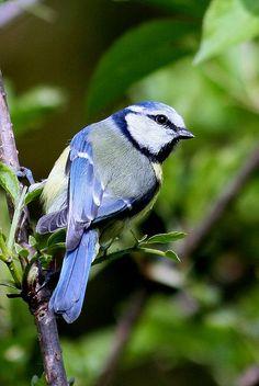 Sinitiainen,( Parus caeruleus -)