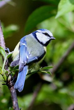 Blue Tit - looks like a Blue Jay - love those!