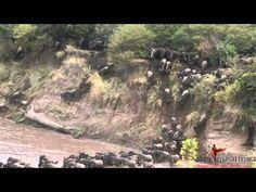 Wildebeest (gnus)  migration