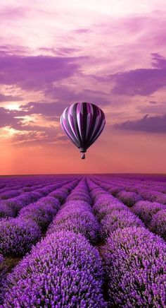 Hot Air Balloon Over Lavender Fields #French