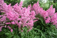 Astilbe. Great color in the shade garden.