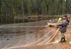 Nuotanvetoa Pellon Miekojärvellä, jonka halki napapiirin linja kulkee