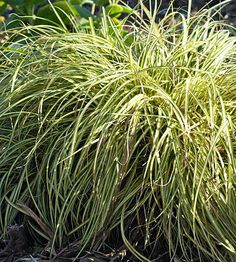 Sedge looks like an ornamental grass, but it isn't. This plant is good in nearly any condition, is perennial, 6-30 inches tall and wide, is slightly deer resistant, and will work well in my nasty wet clay soil.
