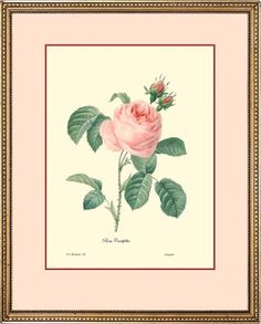 Antique Rose botanical fine art print reproduction by PosterPlace, $15.00
