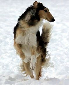 Borzoi It Is Believed That When The Czar Of Russia And His Cousin