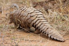 The best way to help save the pangolin - along with regular anti-poaching efforts - would be to reduce demand from Asia with education campaigns, but that can take time and be expensive. Let's hope conservationists succeed in saving our very unique cousin in the mammal family...