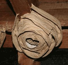 wasp nests - Google Search