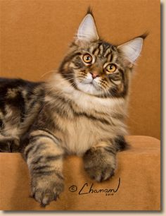 GC, NW, Stormytown Lt Dan Taylor Brown Tabby, Male Breeder: Steve-Sandie Brock Owner: Steve-Sandie Brock