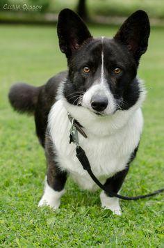 Cardigan Welsh Corgi Puppies, Pembroke Welsh Corgi Puppies, Corgi Dog, Cute Funny Animals, Cute Dogs, Corgi Full Grown, Cute Animal Photos, Animal Pics, Corgi Facts