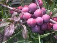 Prunus cerasifera 'Matjuni', körsbärsplommon. Ljusrosa blommor på våren, röda blad. Purpurröda aromrika, runda och söta frukter i augusti.