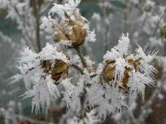 jardiner en janvier / fevrier... et risquer les gelées Dandelion, Nature, Flowers, Plants, Naturaleza, Dandelions, Plant, Taraxacum Officinale, Nature Illustration