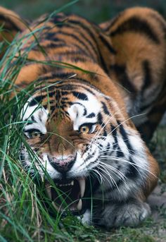 Big Siberian Tiger (by MIke Kolesnikov) <<< Even when they are snarling, I find them adorable. Animals And Pets, Baby Animals, Cute Animals, Wild Animals, Big Cats, Cool Cats, Beautiful Cats, Animals Beautiful, Big Cat Family