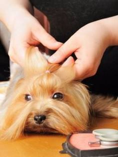 How to make a Yorkie topknot. Instructions and step by step photos showing how to make a nice pull back bow on the Yorkshire Terrier. Yorkie Bebe, Yorkie Hairstyles, Top Dog Breeds, Yorkshire Terrier Puppies, Lap Dogs, Training Your Dog, Potty Training, Dog Grooming, Grooming Yorkies