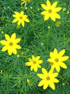 Coreopsis (Tickseed).  A great perennial.  I've had mixed luck with coreopsis over the years, but return to their creamy yellow happy little flowers every spring.  My favorite variety is Moonbeam.