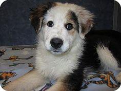 Ridgway, CO - Australian Shepherd/Bernese Mountain Dog Mix. Meet Puppies, a puppy for adoption. http://www.adoptapet.com/pet/15195882-ridgway-colorado-australian-shepherd-mix