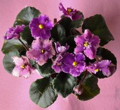Robs Hot Chocolate: This is a semi-miniature variety known as Robs Hot Chocolate. The leaves are black-green in color with a red back. They are wavy in shape. The flowers are dark pink in color. The flower shape is frilled and type is a semi-double. This plant was hybridized by R. Robinson in 1992.