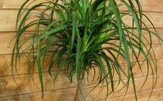 Galería de plantas de interior y ficha de cultivo