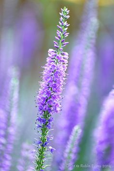 "blooms-and-shrooms: ""  Sun-Kissed Lavender by Grant & Robin Evans by Robin Evans Via Flickr: """