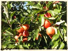 Growing fruit in Idaho for an edible landscape. Credit Card Benefits, Pomes, Fruit Trees, Rats, Homesteading, Planters, Backyard, Apple, Landscape