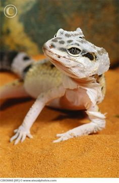Gecko Gecko> We have two of these now...