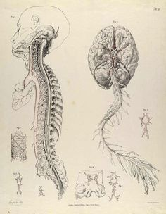 anatomy illustrations dissecting a human head through anatomical illustrations science free art zeichnung Medical Drawings, Medical Art, Medical Illustrations, Medical School, Les Gremlins, Drawing The Human Head, Human Figure Drawing, Vintage Medical, Anatomy Drawing