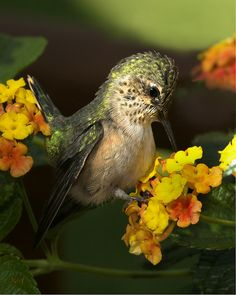 Baby Hummingbird by Roy Hancliff... what a little sweetheart...