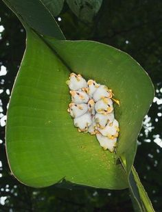 Honduran White Bats clinging to a leaf