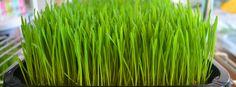 TarwegrasKoning - Biologisch & Duurzaam http://lokalinc.nl/