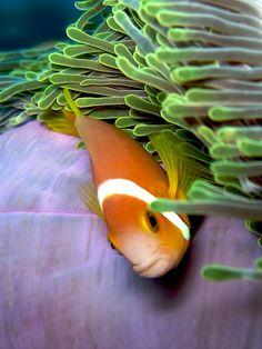Maldives Clownfish in anemone  #scuba
