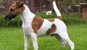red and white smooth fox terrier
