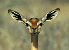 TO CHEW is to move your mouth to break up food. Antelope is CHEWING some grass.