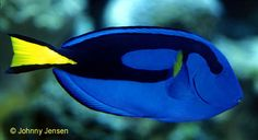 The Regal Tang is a member of the surgeonfish family. The surgeon name refers to two sharp spines that stick out at the caudal peduncle – the area where the tail joins the rest of the body. The spines are easily tangled in nets. Regals will use these spines to wedge themselves into coral, so don't injure them by panicking and trying to remove them. The mouth on tangs is very small and the body is compressed laterally. The Regal's body is a beautiful blue oval with a black swirl that is…