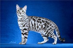 White Bengal Cat