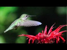 Pelee Island Bird Observatory - Part 1 - Who We Are - YouTube