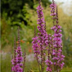 Potted Wildflowers | Purple Loosestrife