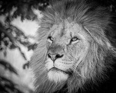 Lion - A beautiful big cat.