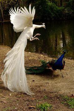 Weird Peacocks Wear Wedding Dresses