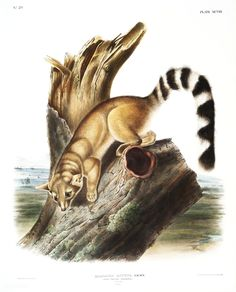 "1989 Vintage /""RING TAILED BASSARIS/"" A LOVELY AUDUBON MAMMAL COLOR Art Lithograph"
