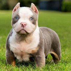 Tricolor Pitbull Bully j Pitbull Terrier, Amstaff Terrier, Pit Puppies, Puppies And Kitties, Doggies, Cãezinhos Bulldog, Bulldog Puppies, Funny Dogs, Cute Dogs