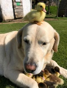 "Fred the labrador has ""adopted"" nine ducklings after their mother disappeared at Mountfitchet Castle in Essex, UK, where he lives. The ducklings are expected to stay at the castle until they're old enough to leave. Cute Puppies, Cute Dogs, Dogs And Puppies, Doggies, Animals And Pets, Funny Animals, Cute Ducklings, Baby Ducks, Labrador Retrievers"