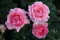 "Climbing Rose ""Sorbet"".  Petite and pretty as a fairy child climbs the two-color miniature rose sorbet on the walls of buildings, arches, pergolas and rose on pillars. Their flowers are among the very large and charming in bright pink and multiple blooms."