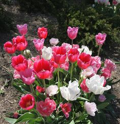 The Friday Forum - May 3, featuring tulips, crazies, and perfume. Go figure! http://bestthingsinbeauty.blogspot.com/2013/05/the-friday-forum-may-3.html