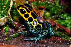 Ranas punta de flecha, las ranas más venenosas