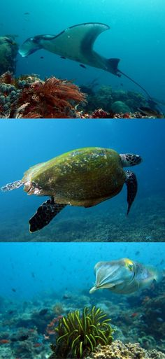 Manta Ray, turtle and cuttlefish in Indonesia, Komodo National Park - Let you be surprised: how I ended up scuba diving in Komodo, Indonesia – Flores – How to go scuba diving to Komodo from Bali – World Adventure Divers – Read more on https://worldadventuredivers.com/2012/02/21/scuba-diving-in-komodo-indonesia/