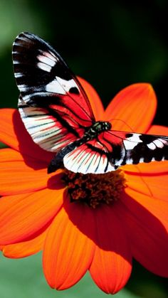 Butterfly on a bright orange flower