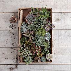 Succulents: Live plants $22.50 - $31.50 #Succulents #Garden